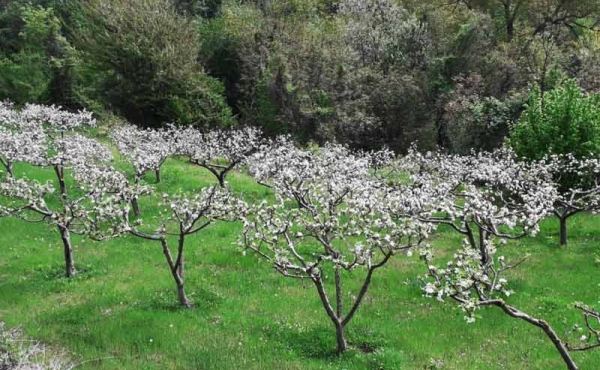 12a.-Apple-Orchard